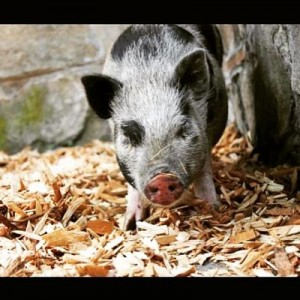 Penny Pig Image