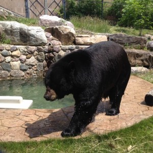 Gallery Image Black Bear