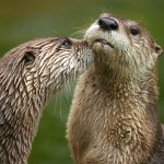 River Otters Image